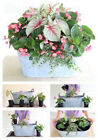 100pcs Unique Begonia Flower Seeds Courtyard Balcony Coleus Pot High Germination