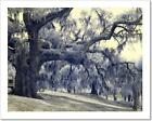 Infrared Photo Of Live Oaks And Palms Art Print Home Decor Wall Art