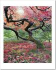Old Japanese Maple Tree In Fall Art Print Home Decor Wall Art Poster - C