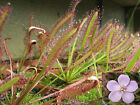 200+ Drosera capensis seed Huge flower cape sundew carnivorous plant!