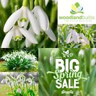 LARGE SNOWDROP BULBS Top Quality Spring Flowering Bulbs