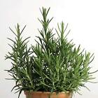 ROSEMARY SEEDS - HEIRLOOM HERB GARDEN SEEDS - NON-GMO CULINARY HERB GARDENING