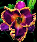 100Pcs Hybrid Daylily Lily Flower Seeds Home Garden Multi-Color Mix NEW Plant