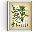 Cannabis Botanical Print Druglord Decor Weed Vintage Poster Art Picture Gift