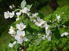Native crab apple grade A hedge plants hedging tree saplings bare root 2 sizes!
