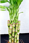 3 Live Lucky Bamboo Indoor 6