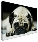 Black & White Sleeping Pugg Canvas Prints Wall Art Picture Large Any Size