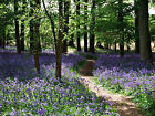Bluebell Woods Pathway Forest Canvas Picture English Countryside Wall Art Print