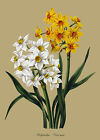 Polyanthus Narcissus (2) - botanical flower print in 3 sizes