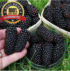 1000pcs NO-GMO Real HUGE Blackberry Fruit Seeds Rare Delicious Fruits Grow Fast