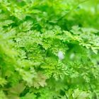 Winter Chervil, French Parsley, NON-GMO, Variety Sizes, (FREE SHIPPING)