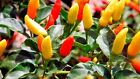 Tabasco Pepper Seeds, HOT CHILI PEPPER, NON-GMO, Variety Sizes, FREE SHIPPING