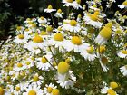 German Chamomile Seeds, NON-GMO, Herbal Tea Aroma, Variety Sizes, FREE SHIPPING