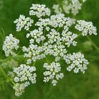 Caraway Seeds, Herb, NON-GMO, Heirloom, Variety Sizes, FREE SHIPPING
