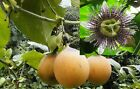 40 100 Passiflora ligularis seed world's best tasting passion fruit very sweet!