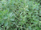 Italian Oregano Herb Seeds, Origanum Vulgare, NON-GMO, Variety Sizes, FREE SHIP