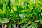 Large Leaf Sorrel Seeds, NON-GMO, Heirloom, Variety Sizes, FREE SHIPPING