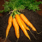 Carrot Seeds, Imperator 58, NON-GMO, Heirloom, Variety Sizes, FREE SHIPPING