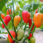 Santa Fe Grande Hot Pepper Seeds, Guero, NON-GMO, Variety Sizes, FREE SHIPPING