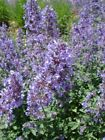 Catnip Seeds, Nepeta Cataria, NON-GMO, Variety Sizes, Cat Lovers, FREE SHIPPING
