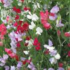 SWEET PEA FLOWER GARDEN SEEDS - EVERLASTING - PERENNIAL VINE - ROSE, WHITE