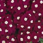VERBENA FLOWER GARDEN SEEDS - QUARTZ XP SERIES - 1000 SEEDS -ANNUAL GARDENING