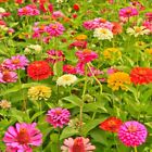 California Giants Zinnia Mix Seeds, Bright Colors, Cut Flowers, Stunning