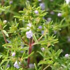 Summer Savory Herb Seeds, Chubrica, NON-GMO, Variety Sizes, FREE SHIPPING