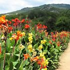 100Pcs Canna Lily Flowers Seeds Rare Beautiful colors Bonsai Plants in Garden