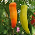 Hungarian Wax Hot Pepper Seeds, Hot Banana Pepper, NON-GMO, Variety Sizes