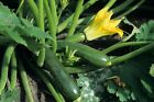Zucchini, Black Beauty Summer Squash, NON-GMO, Variety Sizes Sold, FREE SHIPPING