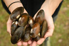 Live Cold Hardy Freshwater Clams Mussels for bio filter beta aquarium koi pond
