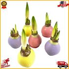 Live Plant Decoration Indoor Garden House Ornament Waxed Amaryllis Spring Colors