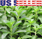 30+ ORGANIC Stevia Seeds Herb Heirloom NON-GMO Diabetic Sugar Natural Sweetener