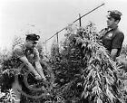 1964 Vintage Photo Marijuana Eradication Pulling Weed Bronx NY