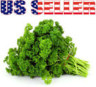 200+ ORGANICALLY GROWN Moss Curled Parsley Heirloom NON-GMO Herb Fragrant  USAt