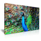 PEACOCK With Feathers Canvas Framed Print 3 ~ More Size