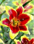 1-6 RED MORNING ORIENTAL LILY BULBS SIZE 18/20 BRONZE/APRICOT GARDEN PERENNIAL