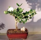 Dwarf Plum Bonsai Tree Flowering Indoor Bonsai (carissa macrocarpa) 7 yr 9