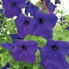 Petunia Seeds Supercascade Blue Pelleted Seeds 50, 200 Or 500