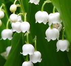 CONVALLARIA MAJALIS~LILY OF THE VALLEY~FRAGRANT LIVE SHADE PLANT PIPS *LOW PRICE