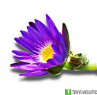Nymphaea King of Siam Blue Purple Tropical Water Lily Tuber Live Pond Plant Bulb
