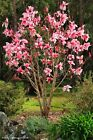 30 pcs/bag magnolia beautiful flower tree seeds plants in pot or ourdoor plant f