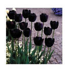 BLACK TULIP 'QUEEN OF THE NIGHT' PERENNIAL FLOWER BULBS PLANT NOW FOR SPRING BLM