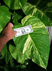 3 Cuttings Giant Pothos philodendron tropical easy grow hedge or house PLANTS cheap