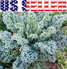 200+ ORGANICALLY GROWN Kale Dwarf Blue Curled Vates Seeds Heirloom NON-GMO
