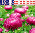 100+ Aster Jewelaster Carmine Flower Seeds Semi-Dwarf Pink Beautiful Decorative!