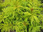 Sambucus Sutherland Gold in 9cm pot