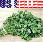 300+ ORGANICALLY GROWN Plain Leaf Parsley Heirloom NON-GMO Herb Fragrant USA!