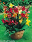 CANNA LILY TROPICAL SERIES 8 SEEDS 2 1/2 FEET TALL BEAUTIFUL